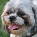 Best Way to Clean Shih Tzu Eyes