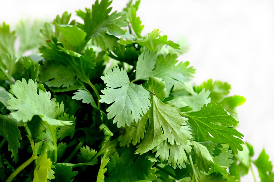 Can You Freeze Cilantro?