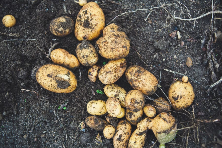 Why It's Important to Wash Potatoes Before Cooking