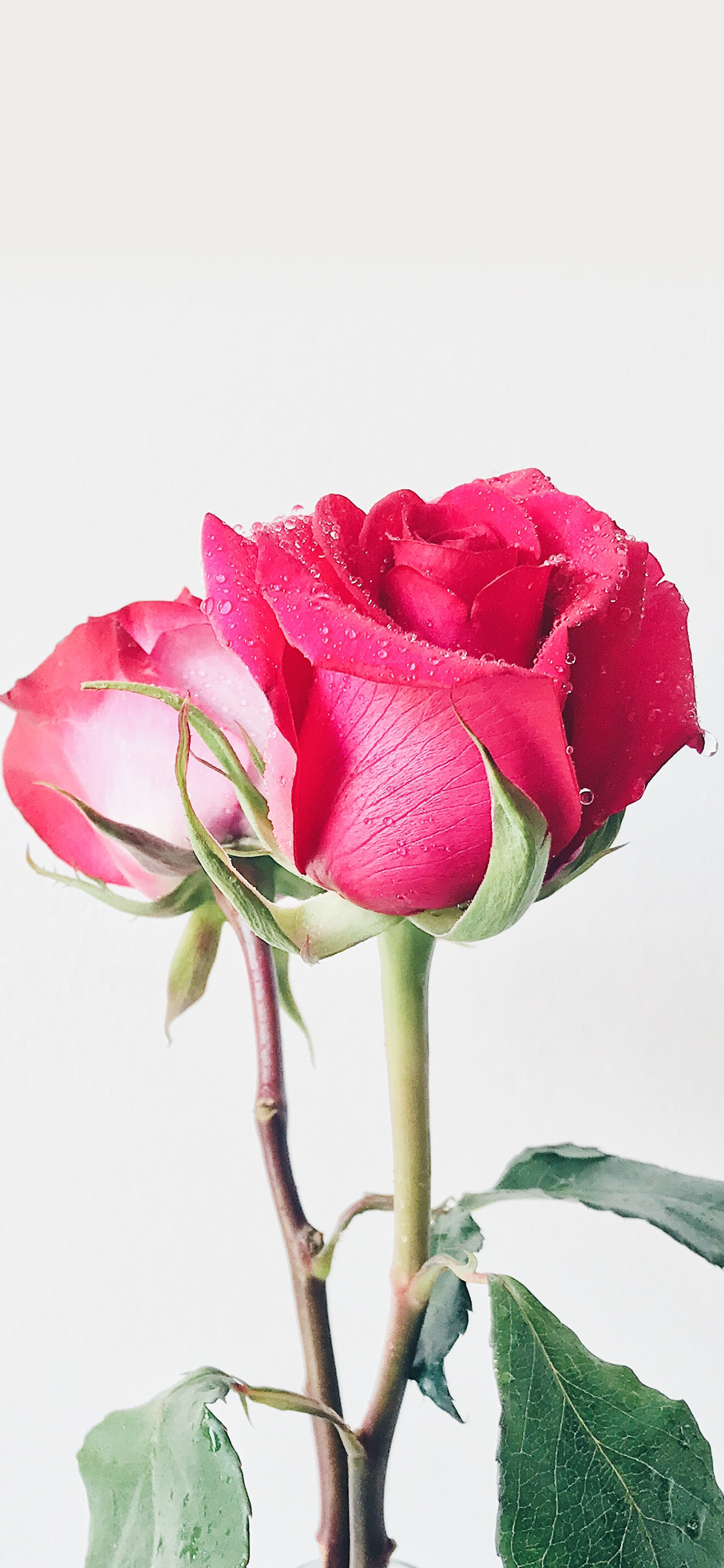 49 Beautiful Rose Iphone Wallpaper Hd Quality